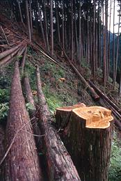 土佐の伐採現場