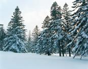 北海道道北 冬のトドマツ林
